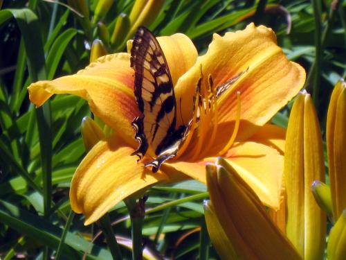 DL16.butterfly