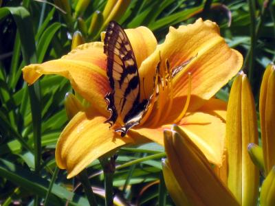 DL-16.butterfly