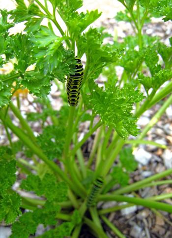 Swallowtail.larvae
